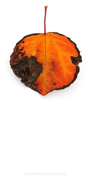 Dry Erase Board, Fallen: Single Leaf