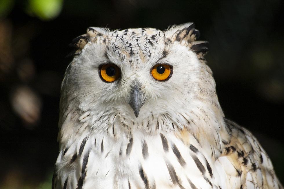 owl Annika Boschan from Pixabay .jpg