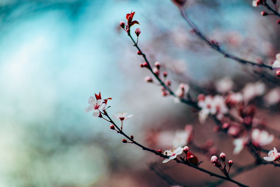 cherry-blossom-Free-Photos from Pixabay