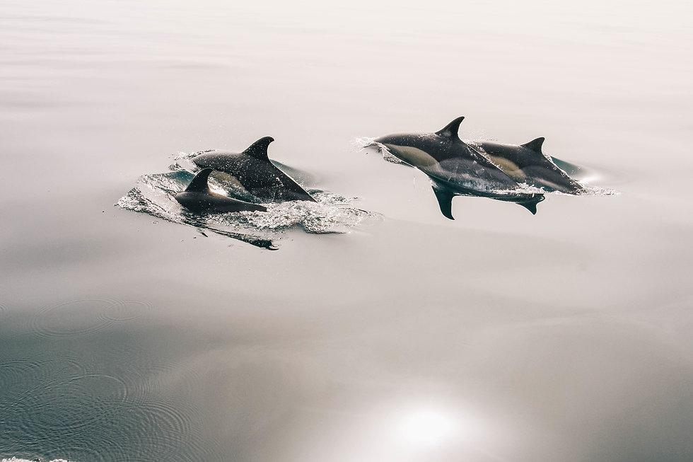 dolphins-945410_1920 copy.jpg