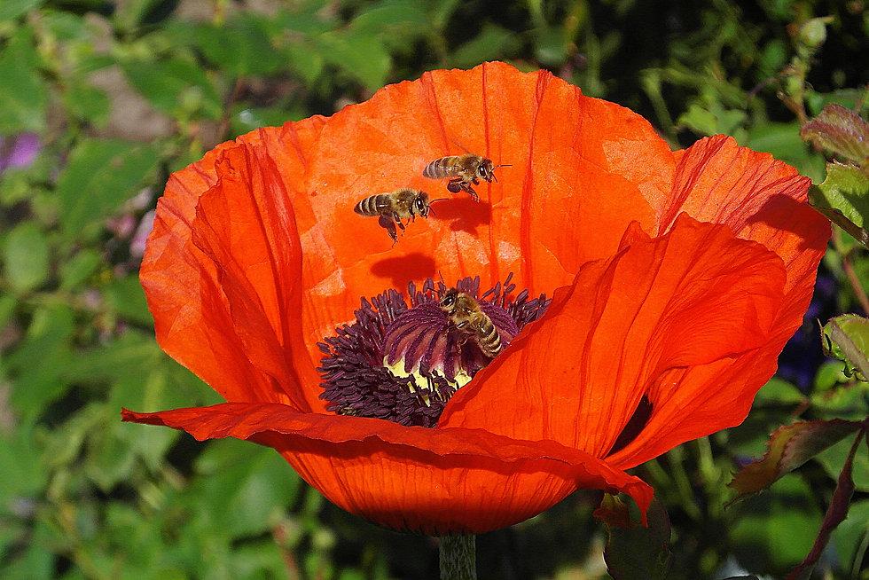 poppy-by Nowaja from Pixabay  copy.jpg