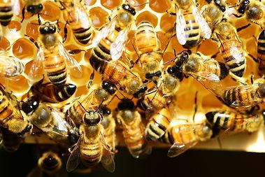 honey-bees-Polly Dot from Pixabay.jpg
