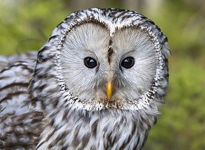 Owl by Erik Karits from Pixabay.jpg