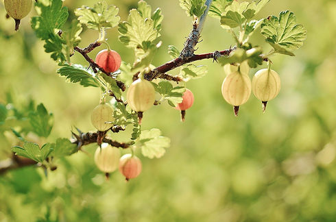 gooseberry-GLady from Pixabay copy.jpg