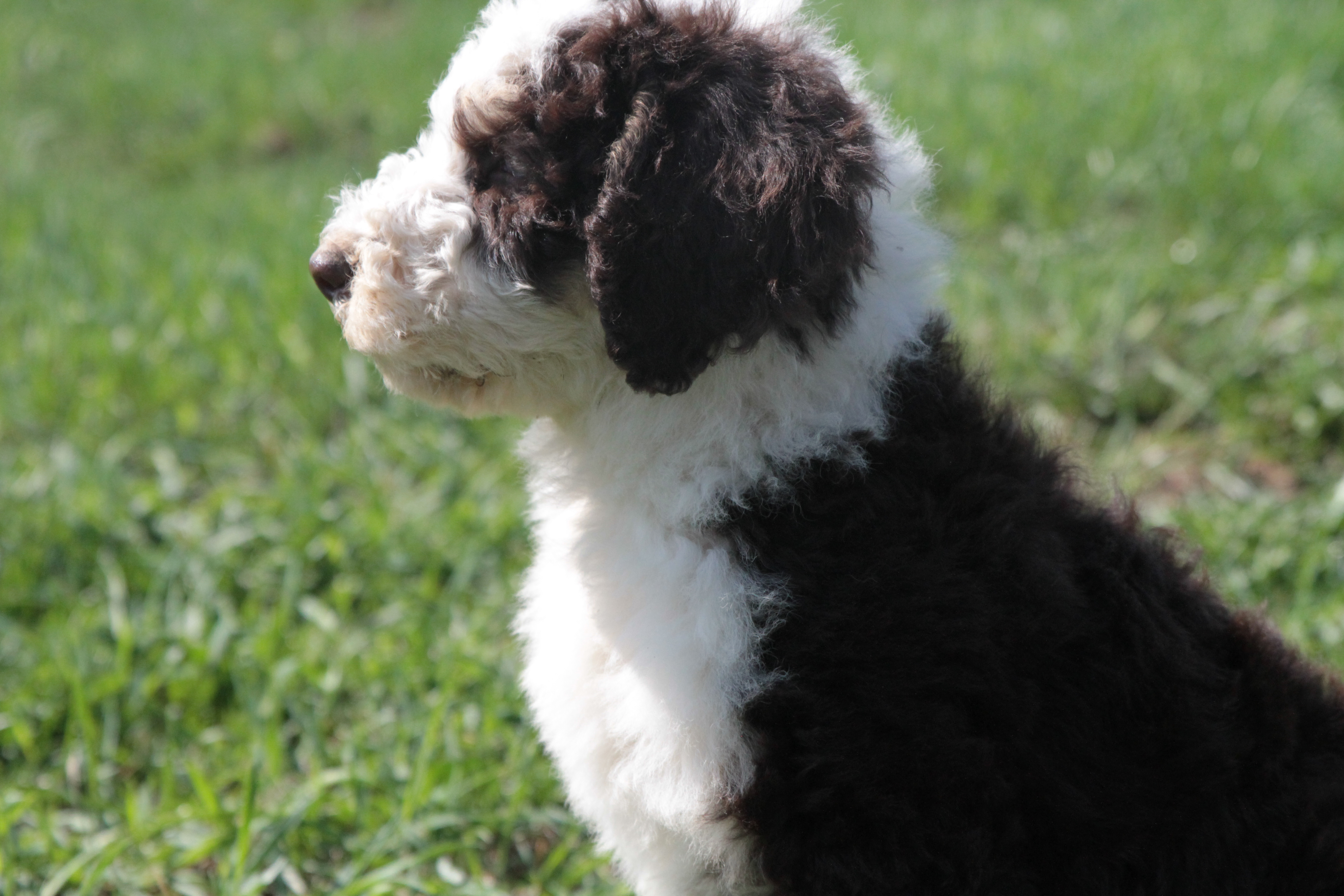 Bernedoodle Puppies For Sale | United States | Bouncing Bernedoodles