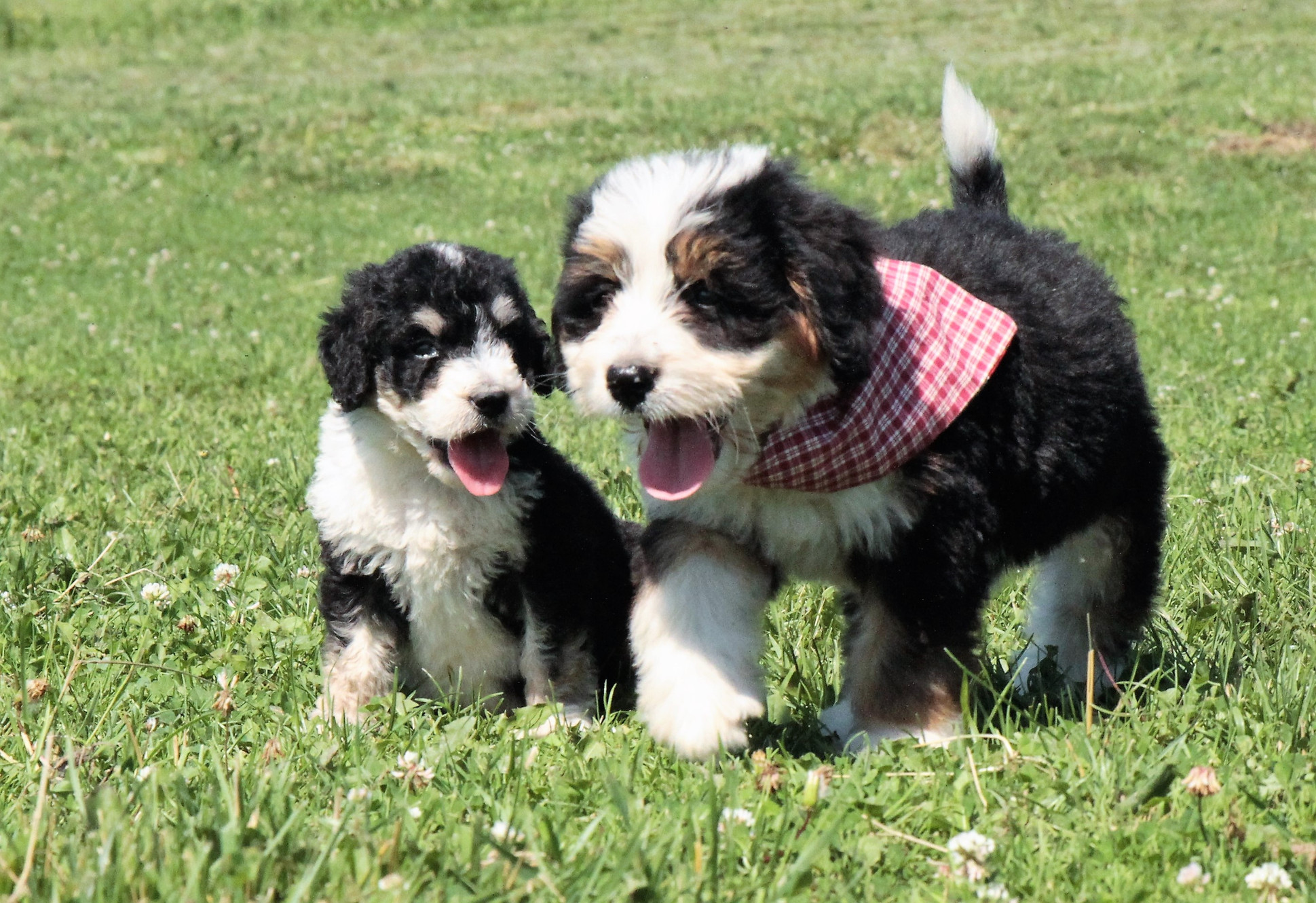 Bouncing Bernedoodles United States Puppies Available Now