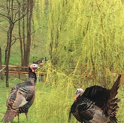 Wild turkeys putting on a show _ the tin