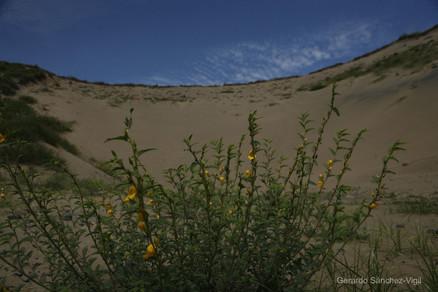 Lenteja de playa (Chamaecrista chamaecristoides)