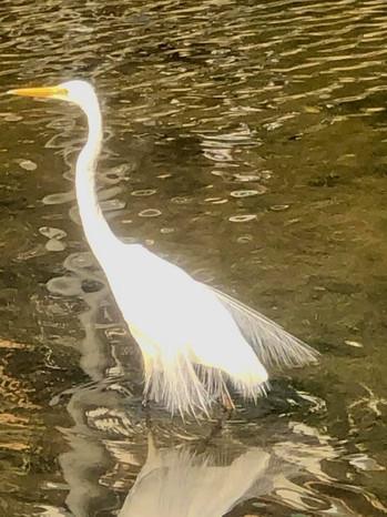Great Egret in full plumage