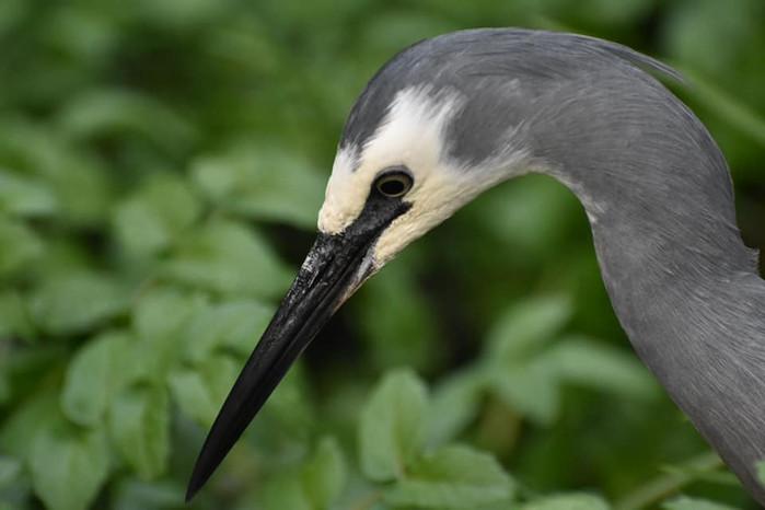 White-faced heron headshot