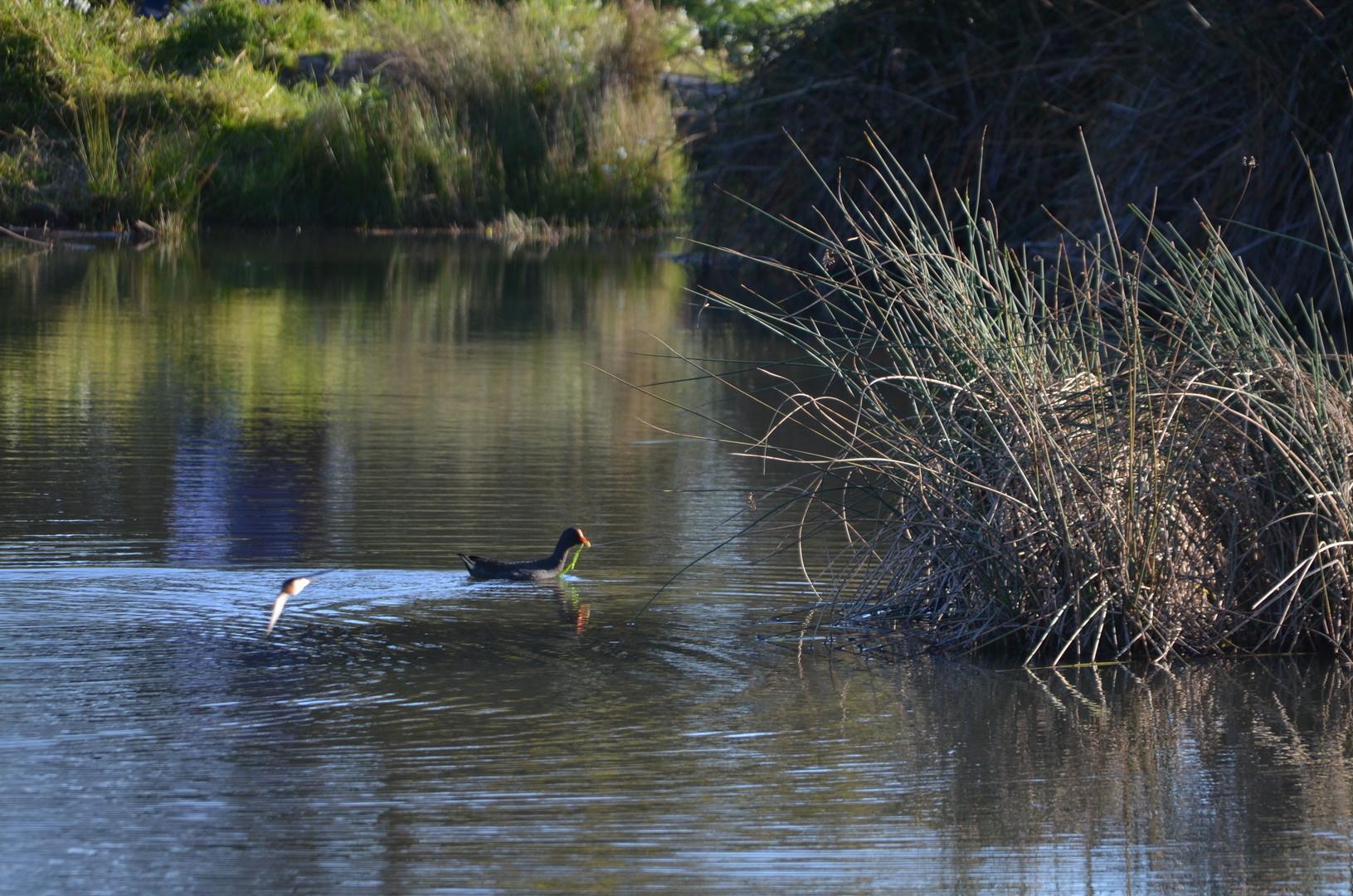 Dusky moorhen with swooping Welcome swallow