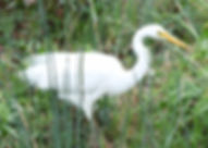 Eastern Great Egret in breeding plumage