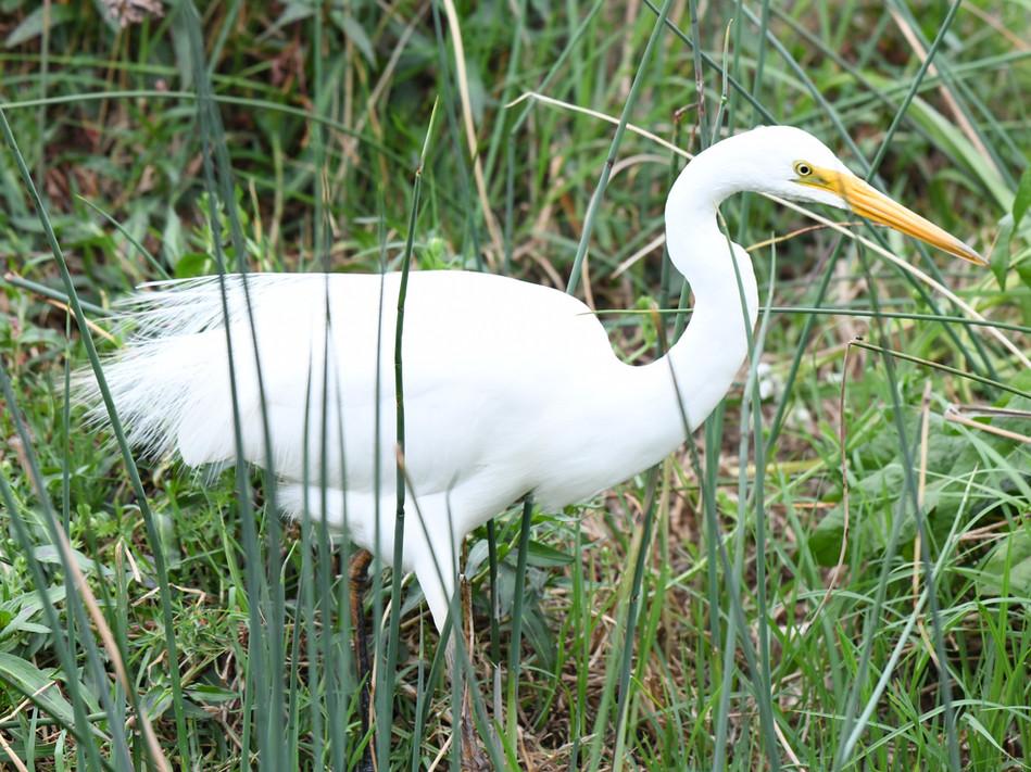 Eastern Great Egret in breeding plumage
