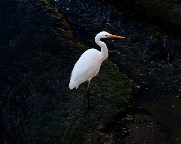 Great Egret with dark background