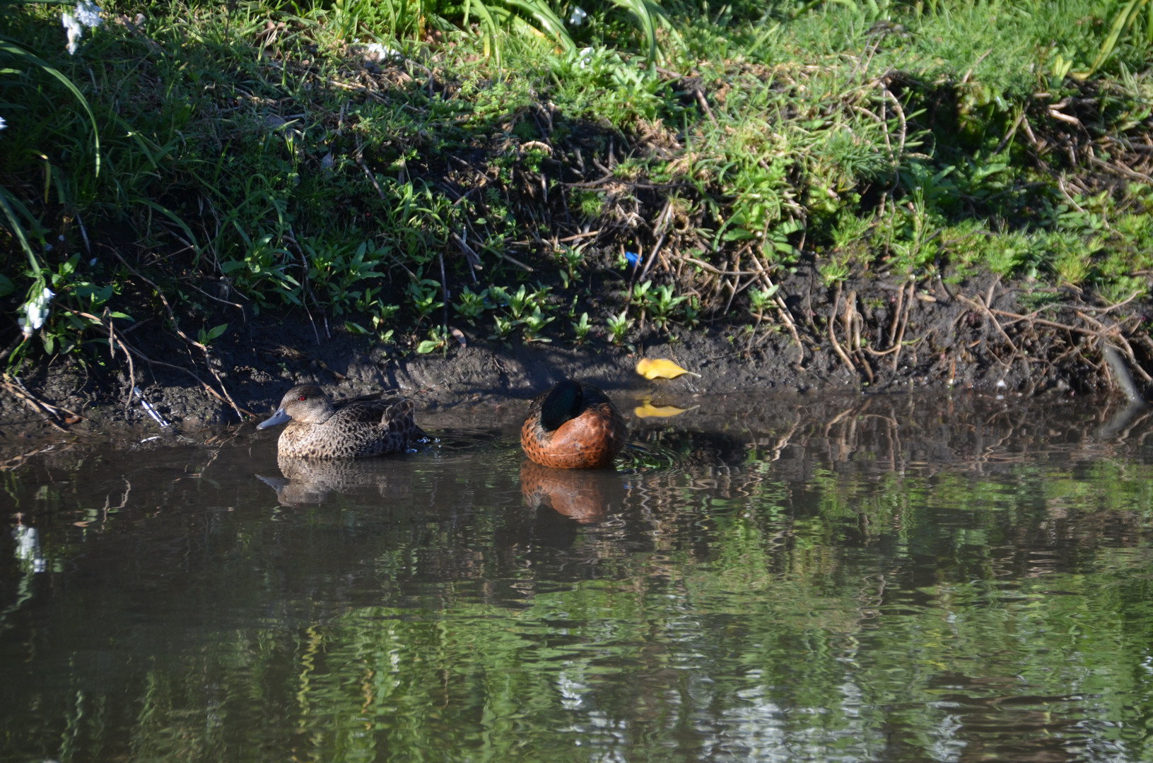 Pair of Grey teal ducks
