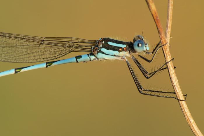 Blue Ringtail Damselfly
