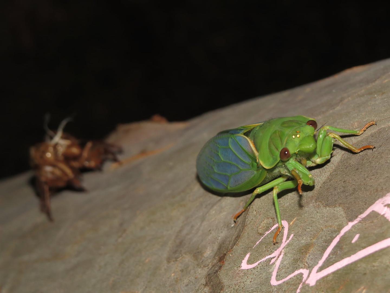 Greengrocer Cicada just emerged