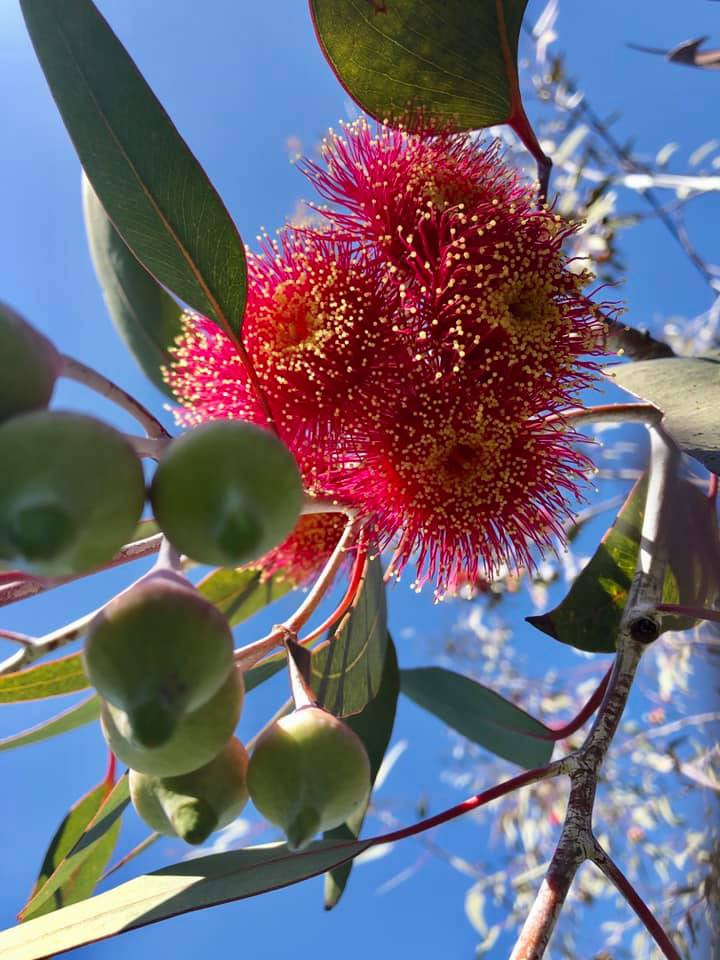 Red flowering gum blossoms