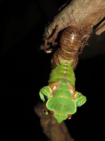 Greengrocer Cicada emerging