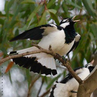 Magpie-larks (Pee-wee or Mudlark)