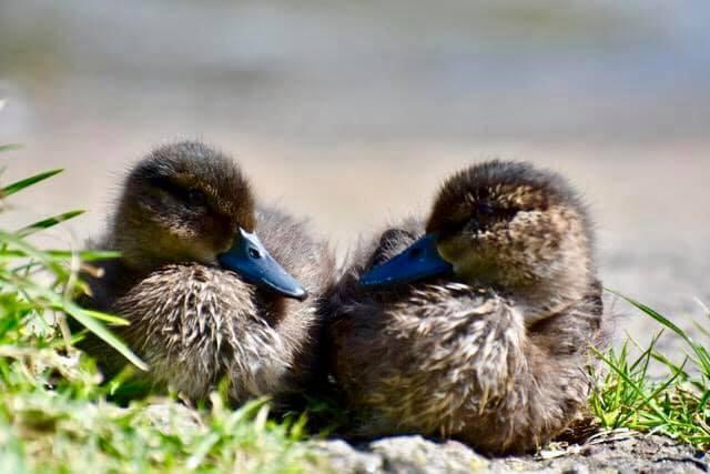Ducklings resting