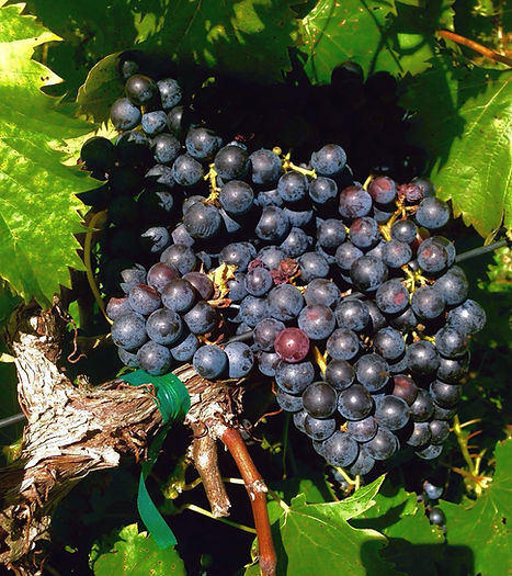 Chambourcin Grapes, Missouri Wines, Vineyard