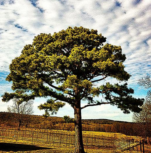 Chambourcin Vineyard Tree