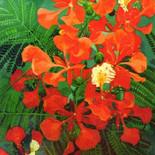 Flor flamboyan