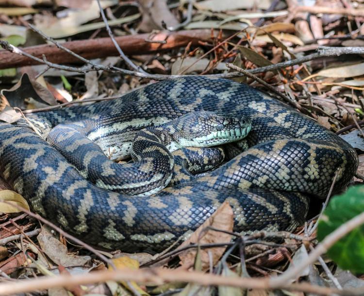 Carpet Python