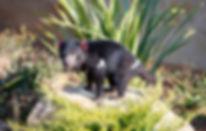 Diables_Tasmanie_-_©ZooParc_de_Beauval.j