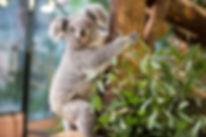 Koala_-_©ZooParc_de_Beauval.jpg