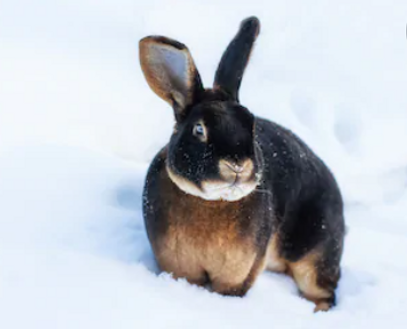 snow bunny.PNG