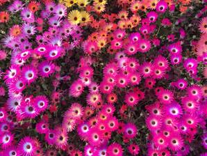 Toowoomba Flower Festival !
