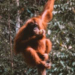 Orangutan Sarawak Kinabatangan Borneo Jungle Camping Lodge Natural Experience