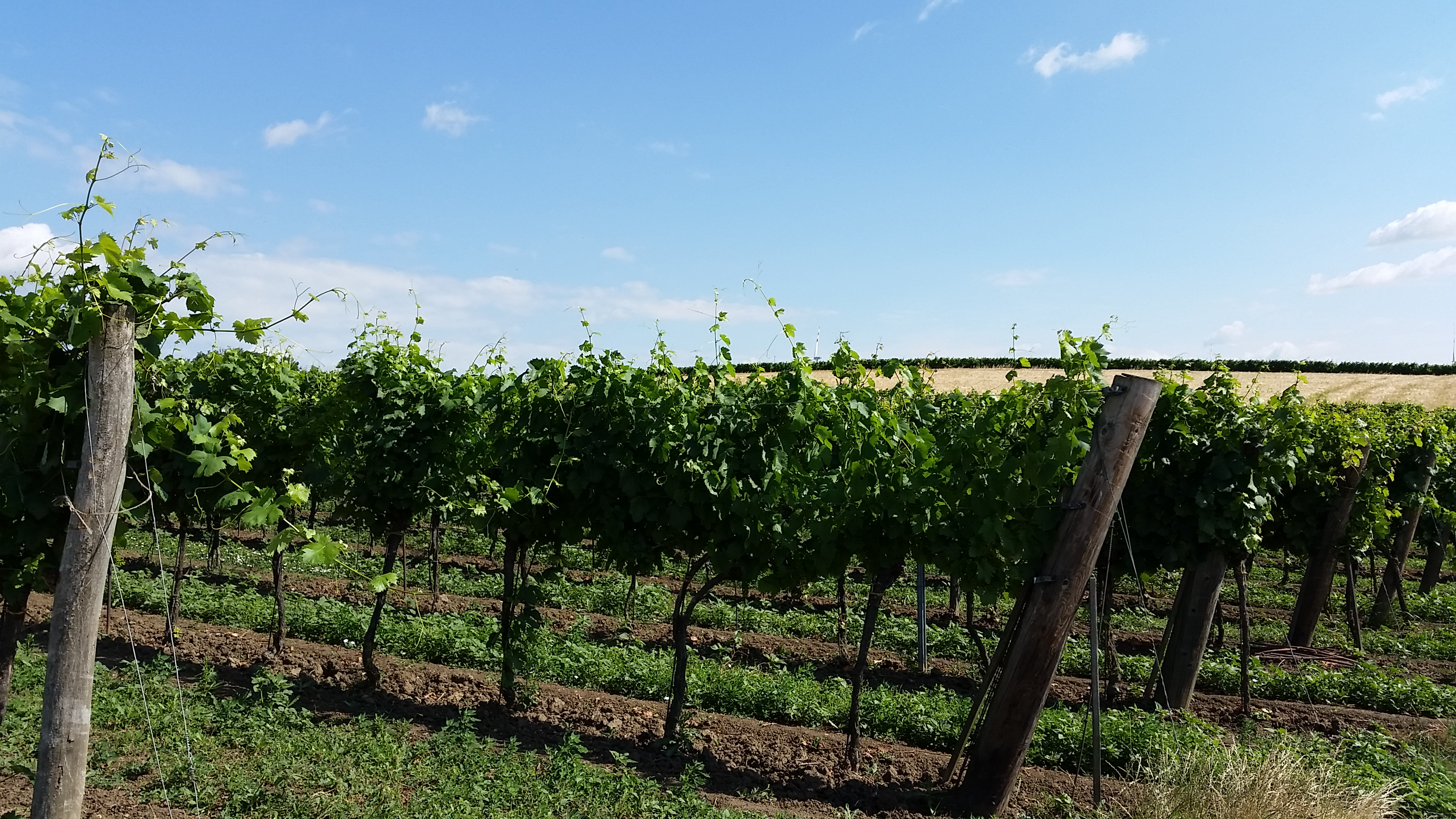 Weinreben bei Ebersdorf