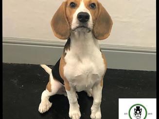 Puppy face. Angel heart.💚_#beagle #beag