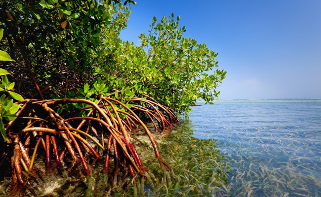 Red-Mangrove-Forest.jpg