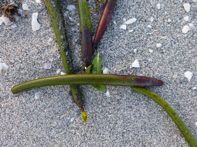 red-mangrove-seed-pods.jpg