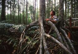 Mangrove Tree Prop Roots