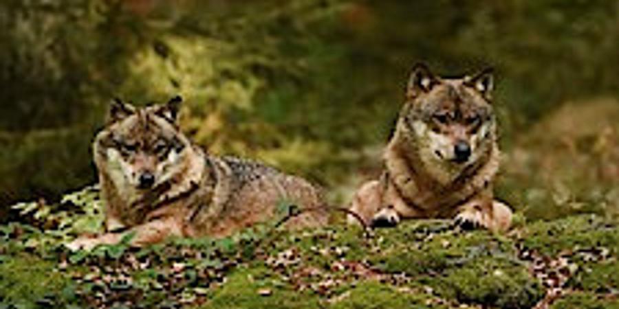 Wölfe - Vortragsreihe im Haus der Nachhaltigkeit