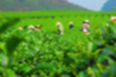 Tea Harvesting.jpg