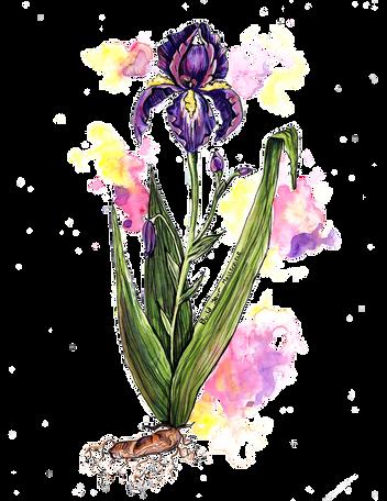 IrisFlower.png