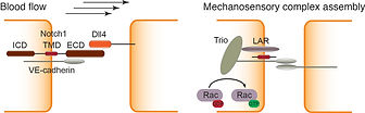 Mechanotranduction Notch