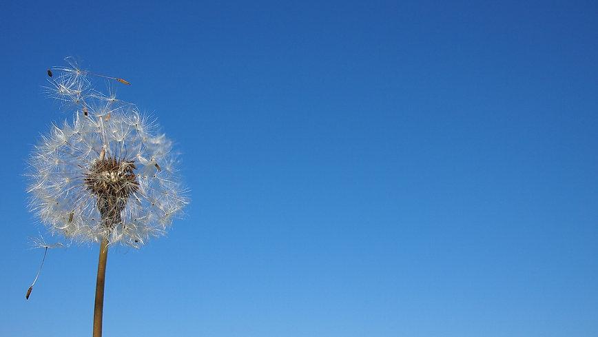 dandelion-752692_1280.jpg