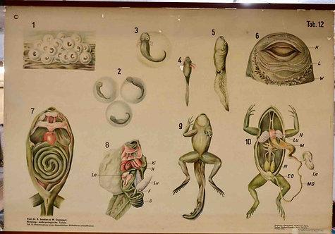 Carte scolaire entoilée - histologie et embryologie de la grenouille