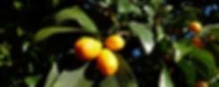 kumquat-2852236_1920.jpg