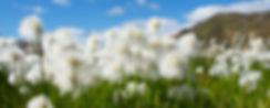 cotton-grass-680623_1920.jpg