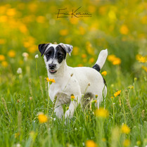 Molly Jo the Jack Russell