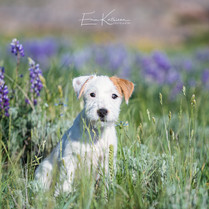 Emmie the Jack Russell