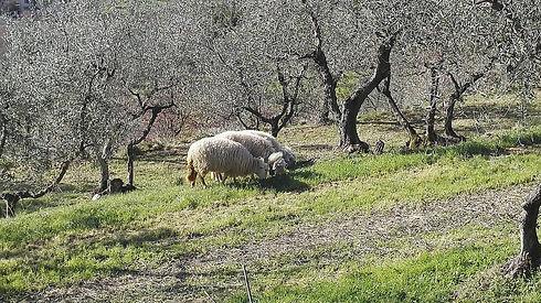 Pecore tra gli olivi